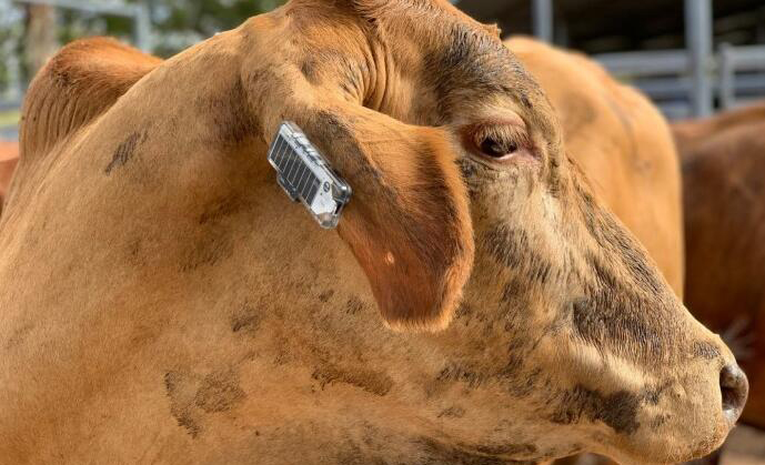 澳洲为牧场奶牛开发智能耳标:带有GPS和加速度传感器