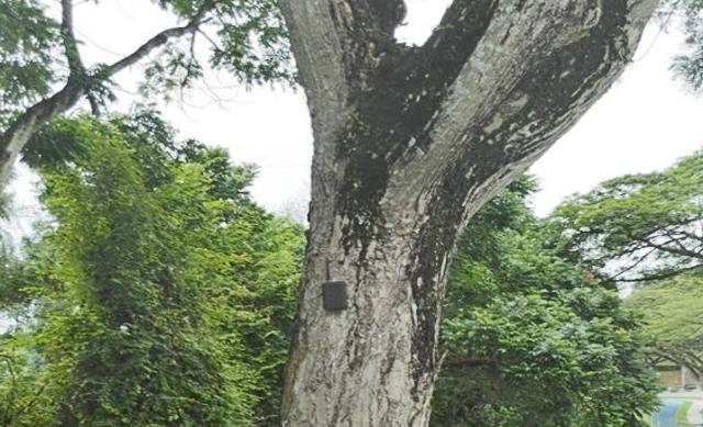 新加坡将装倾斜感应器预防老树倾斜断裂